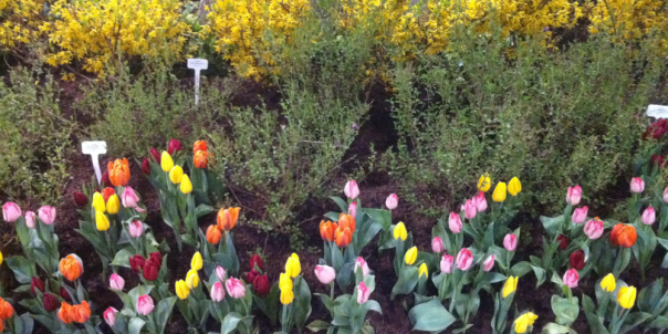 Coloured Tulips - Canada Blooms 2013